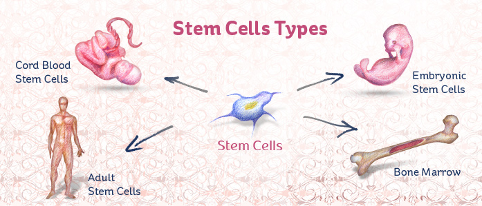 types of stem cells, Human Body